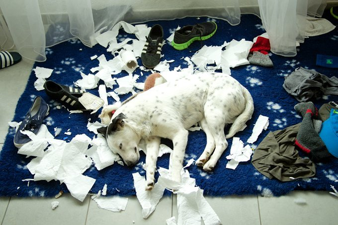 Dogs-chewing-destructive-behavior